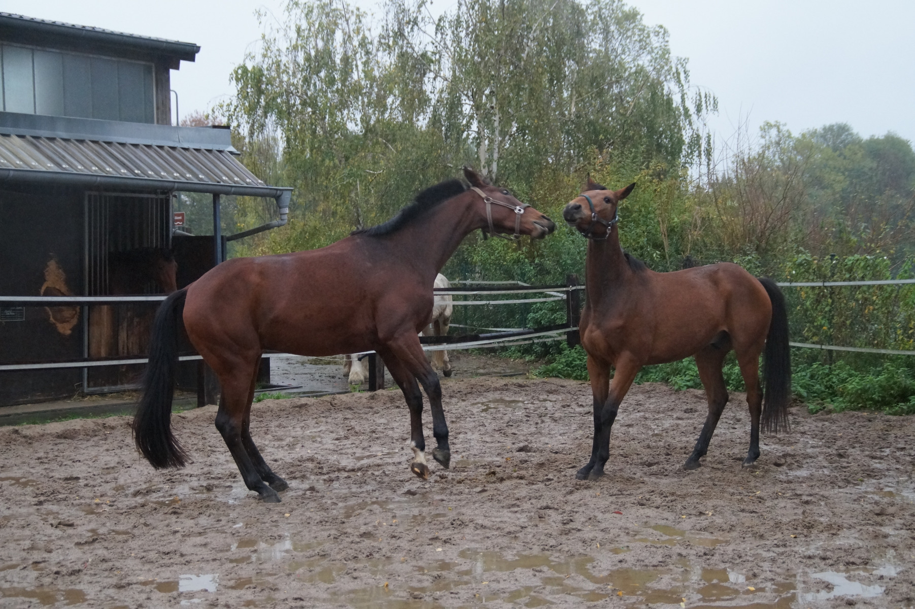 Stübben, Gläserne Manufaktur, Sattel, Pubertät, Pferd, Pferd, Jungpferde